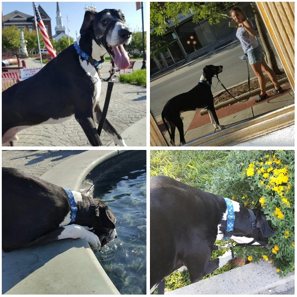 Walking My Great Dane for Exercise